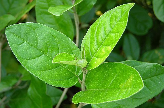 O chá de sacaca também é indicado para combater a anemia e regular o colesterol