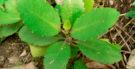 Benefícios e propriedades do chá de saião