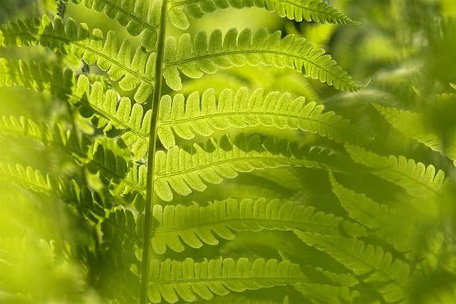 Propriedades e benefícios do chá de samambaia