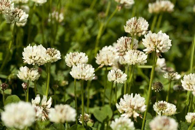 Resultado de imagem para Trevo branco: propriedades e benefícios do chá da planta