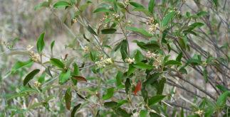 Chá de velame do mato trata doenças venéreas