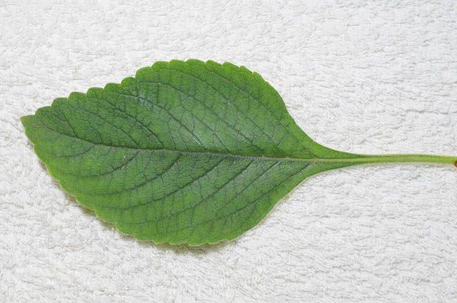 4 incríveis ervas para chás que curam doenças - Boldo