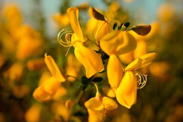 4 incríveis ervas para chás que curam doenças - Carqueja