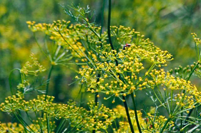 4 incríveis ervas para chás que curam doenças - Erva Doce