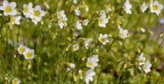 Quebra- Pedra: Chá de Saxifraga elimina as pedras dos rins