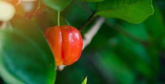 Chá de folha de acerola corta o apetite e acelera o metabolismo