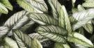 Plantas tóxicas e venenosas e que não devem ser usadas em chás