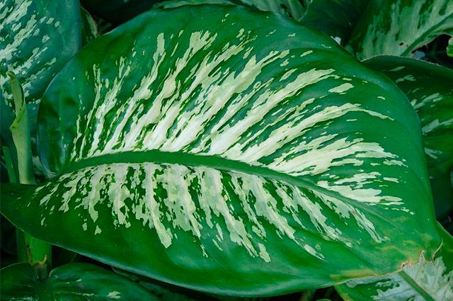 Ornamental, a planta comigo-ninguém-pode se consumida causa irritação e outros sintomas
