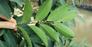Plantas tóxicas que não devem ser usadas para fazer chás