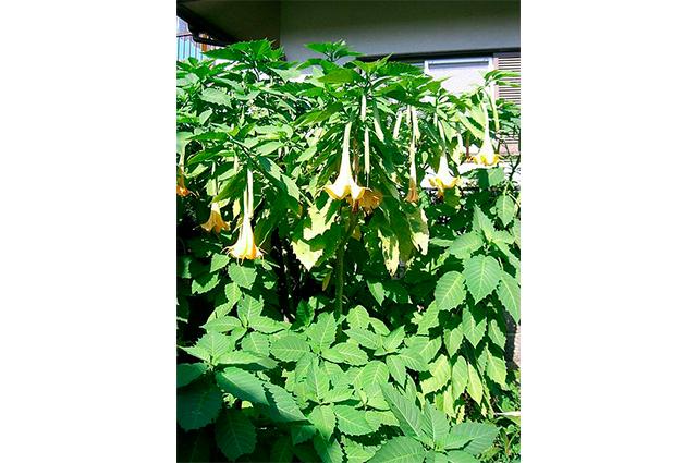 Se consumida, planta saia branca causa febre, boca seca e outros sintomas