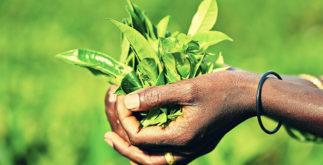 Benefícios e propriedades do chá de Moçambique