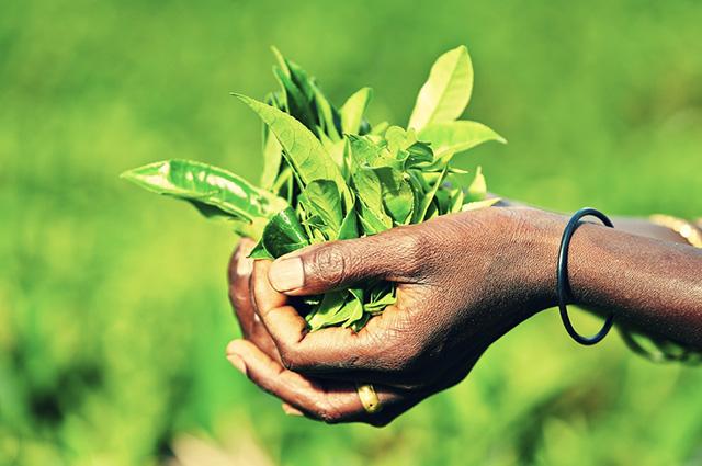 O chá também é a base da economia local de Gurué, em Moçambique