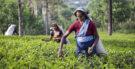 Os 150 anos do cultivo dos chás no Sri Lanka