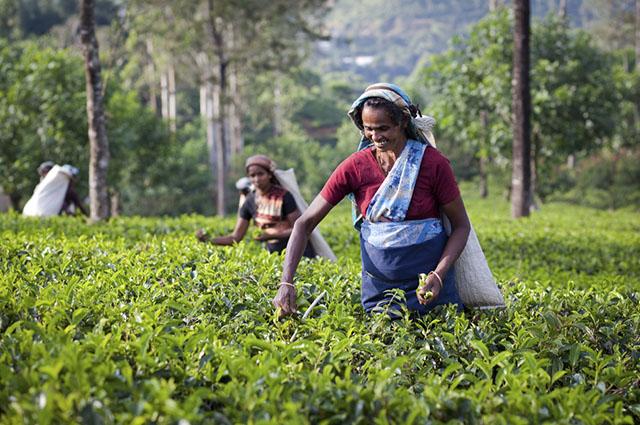 O Sri Lanka é detentor do chá certificado como 'Amigo da Camada de Ozônio'