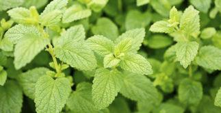 Como fazer chá de erva cidreira; saiba dos benefícios e receitas