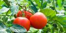 Chá das folhas de tomate: pode tomar ou faz mal? Descubra!
