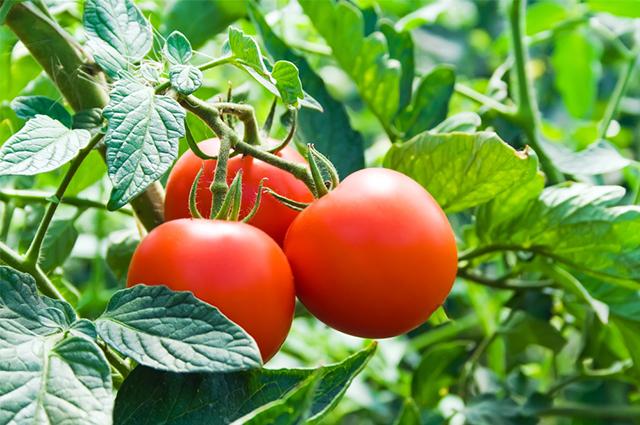 Poder de cura ou não das folhas de tomate ainda é incerto