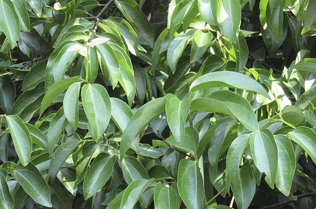 Assim como o chá verde, preto e mate, o chá de Ceilão contém cafeína