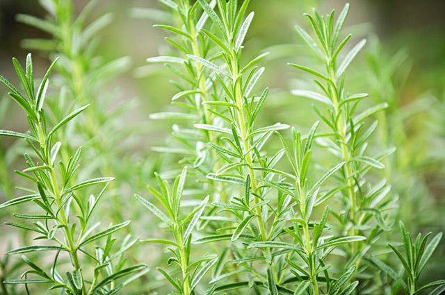 Esse chá pode ser usado em prol da redução das medidas corpóreas
