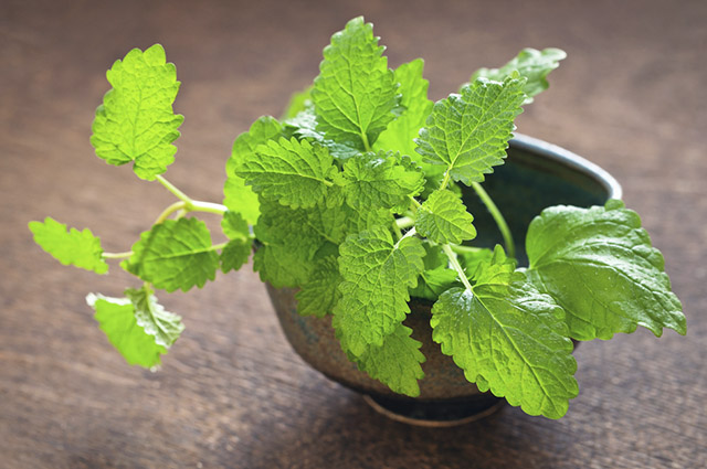 O chá de erva cidreira ajuda aaliviar a queimação do estômago