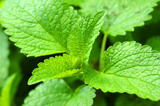 O chá de erva cidreira e funcho é apontado como um dos melhores chás para gases