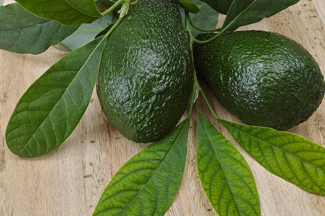 O chá de folhas de abacate acalma o sistema gastrointestinal, sendo indicado para tratar gases