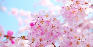 Símbolo do amor, flor japonesa faz sucesso no preparo de chá