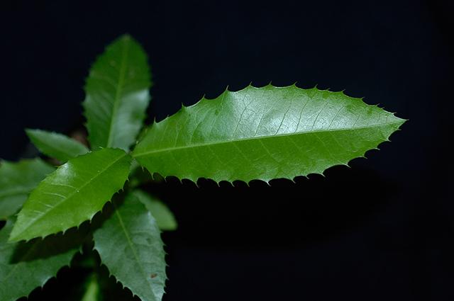 O chá de espinheira santa é um dos tratamentos caseiros para azia