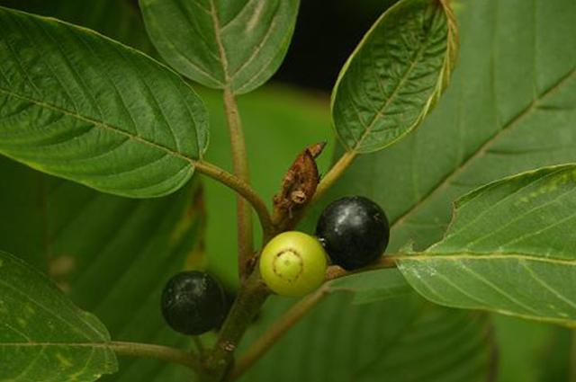 Frutos e folhas de cáscara