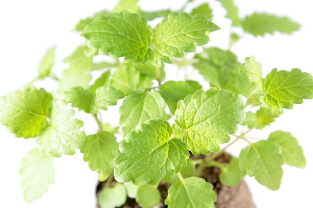 Folhas de erva-cidreira