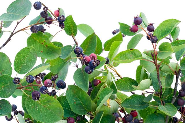 Folhas e frutos de frangula