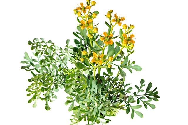 Folhas e flores de arruda