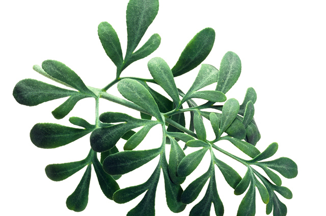 Folhas de arruda