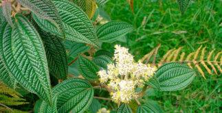 Para que serve o chá de canela de velho: 7 usos medicinais
