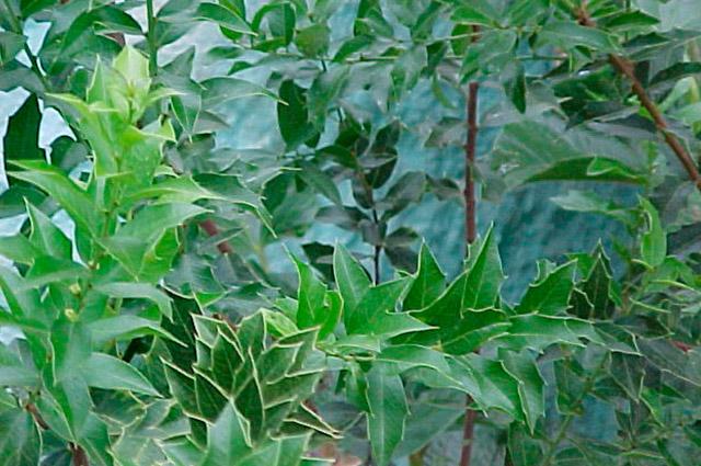 Folhas de espinheira-santa