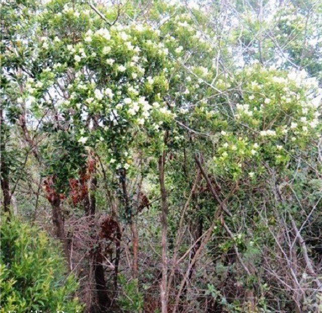 Viejo árbol de canela