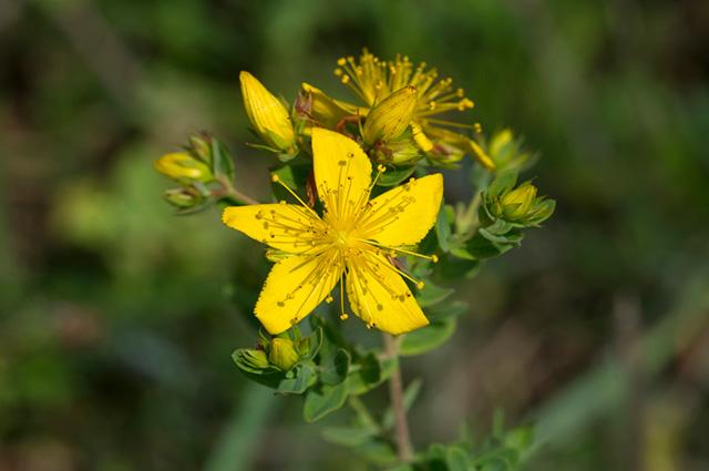 flor da erva de são João